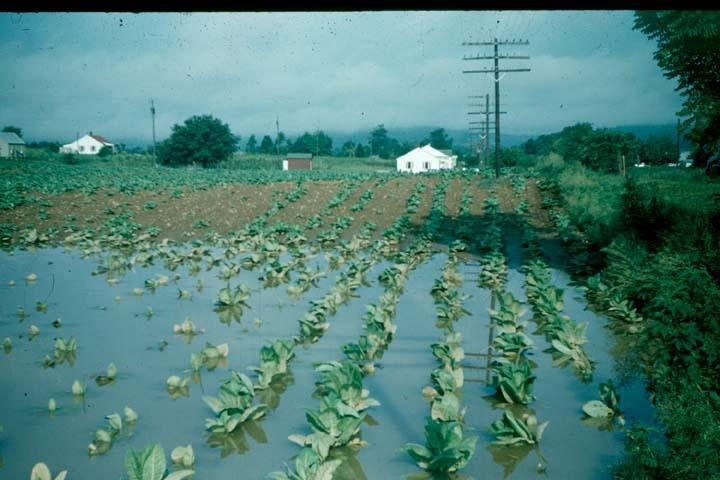 Water Damage: Drowning & Wet Feet   Burley Tobacco Extension