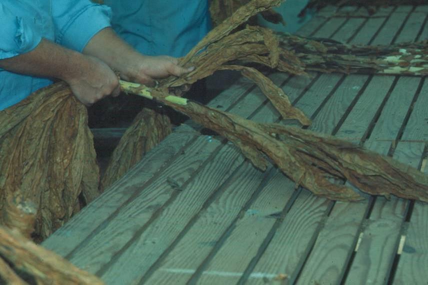 stripping burley tobacco