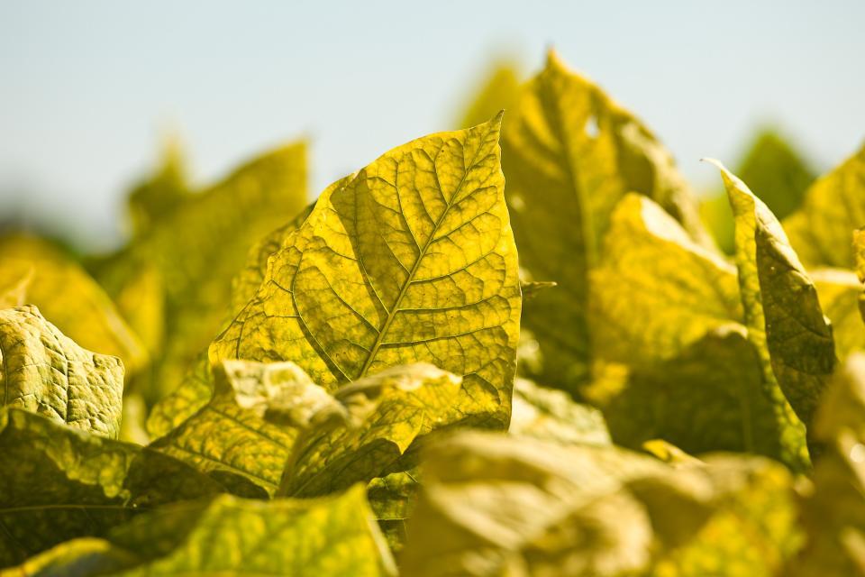 Ripe burley tobacco